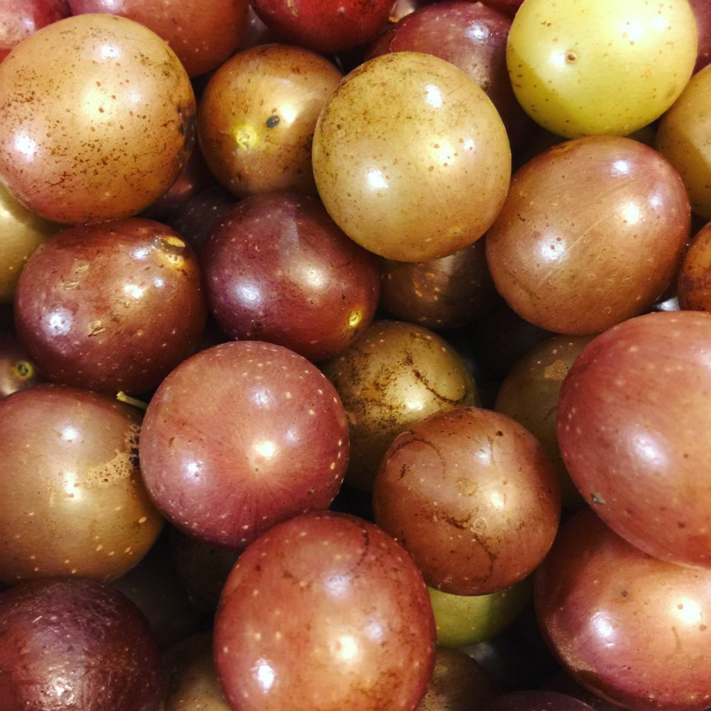scuppernong grape